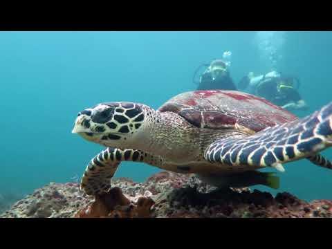 Дайвинг с черепахой у островов Пхи-Пхи.